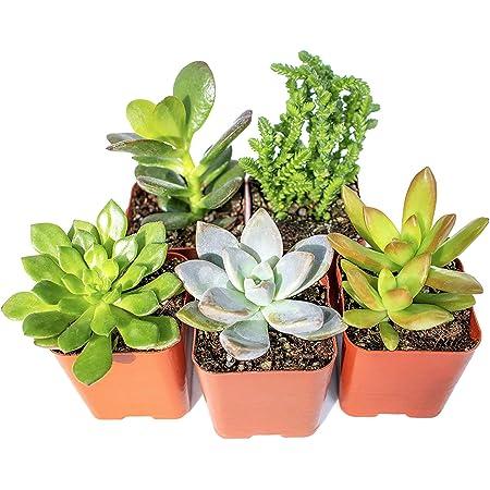 ghdonat.com Real Live Potted Succulents Indoor Plants Succulent ...