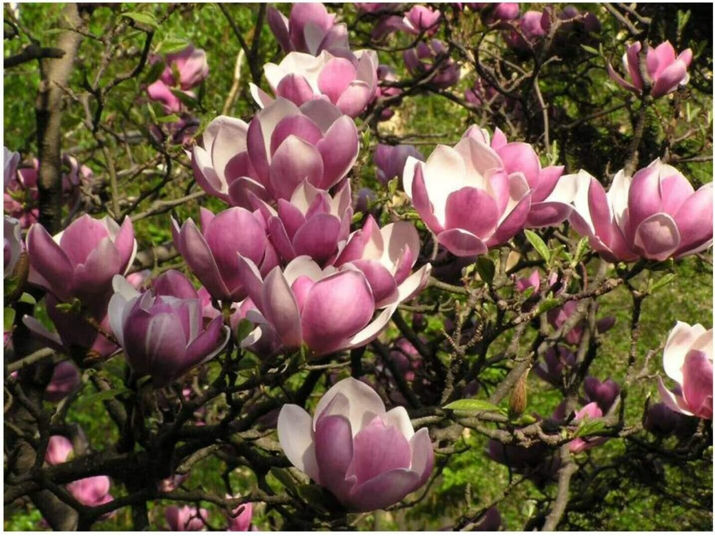 Omaha Max 83% OFF Mall Magnolia Trees Assortment - 1 Each Ann Jane Saucer 3 and in