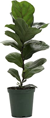 Thorsen's Greenhouse Ficus Lyrata, Fiddle Leaf Fig Plant, Live Indoor Plant, 1-Foot, Green