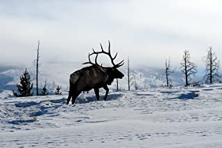 Elk 7 by 6 in the snow #812-Yellowstone National Park-Wyoming-Goodall Christmas Cards
