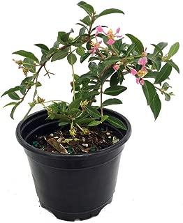 Barbados Cherry Plant - Malpighia emarginata - Indoors/Out - 4