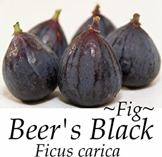 ~BEER'S BLACK~ FIG TREE Ficus Carica YUMMY Fruits NEGRONNE Live sml Potd Plant
