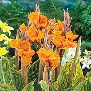 Planted in Spring,Easy to take Care of, Garden Flowers,Ornamental Flowers, Perfect Cut Flowers,Rare Plants,Canna Bulbs,Up to 1.5 Meters in height-1Bulbs