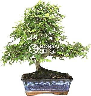 Amazon.es: IRUN BONSAI