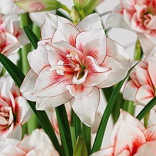 Best elvas amaryllis bulbs Reviews