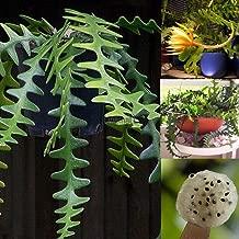 Go Garden Epiphyllum Anguliger Succulent Spider Zig Zag Cactus Plant Hanging Rare Seeds @