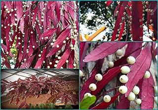 Pseudorhipsalis Rhipsalis Ramulosa * Red Rhipsalis * Mistletoe Cactus * 20 Seeds