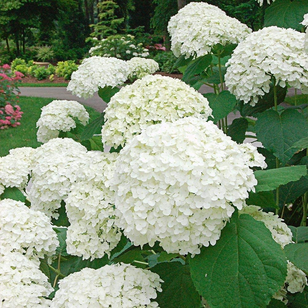Sale special price White Flower Farm Live Hydrangea Plant i Incrediball Virginia Beach Mall Arborescens