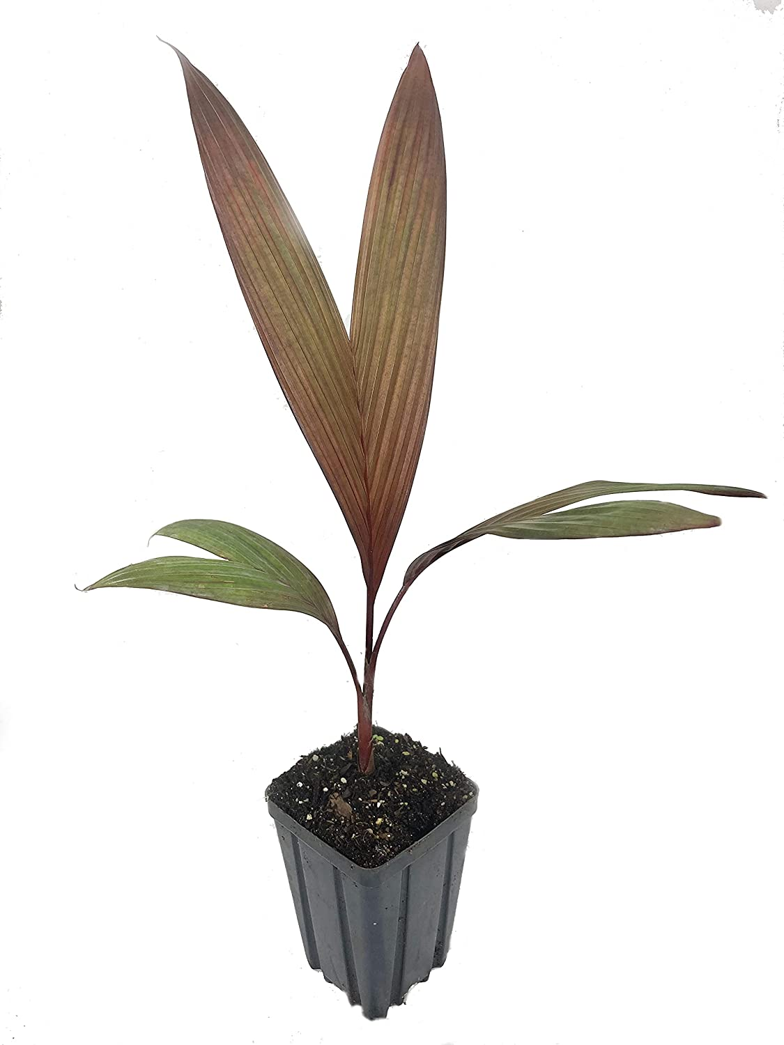 Maroon Crownshaft Palm Tree - Ranking TOP18 3 Live Pots Plants 4 Are in Inch Sales for sale