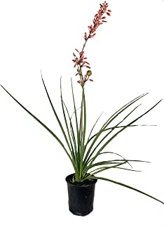 Red Yucca - Live Plant in a 6 Inch Pot - Hesperaloe Parviflora - Bird Friendly Evergreen Succulent