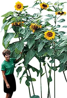 Mammoth Giant Sunflower Seeds - Great for Edible Seeds - 8-12' Tall! (1 lb.)