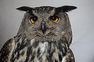 Laminated 36x24 inches Poster: Owl Hedwig Harry Potter Eagle Owl Bird Plumage Spring Animal Mystical Bird of Prey Night Active Eye Vigilant Silent Hunter Night