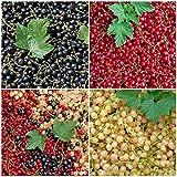 Wunderbares Johannisbeeren-Sortiment 3 Töpfe (Ribes)'die Vitaminbombe'