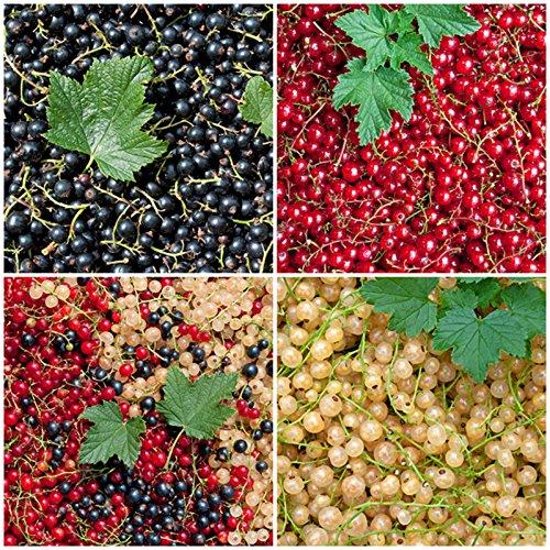"Wunderbares Johannisbeeren-Sortiment 3 Töpfe (Ribes)""die Vitaminbombe"""