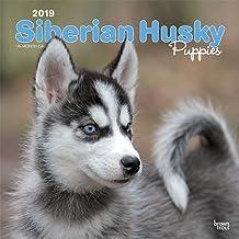 Siberian Husky Puppies 2019 Square Wall Calendar
