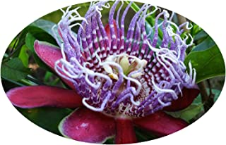 QUADRANGULARIS Tropical Passion Flower Vine Live Plant Passiflora Giant Grandilla Unusual Purple Red Flower Starter Size 4 Inch Pot