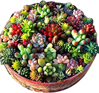 Werall Garden Seeds - 100Pcs Rare Mixed Succulents Seeds, Exotic Plant Seeds Easy to Grow Organic Flower Seeds Indoor Plants House Decorating