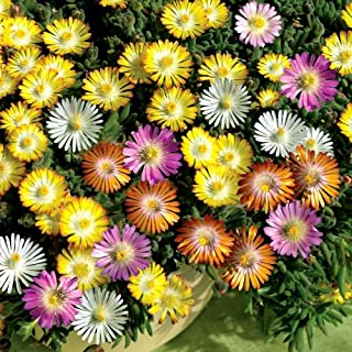 Ice Plant Mixed Color 1000 Seeds Mesembryanthemum Livingstone Daisy