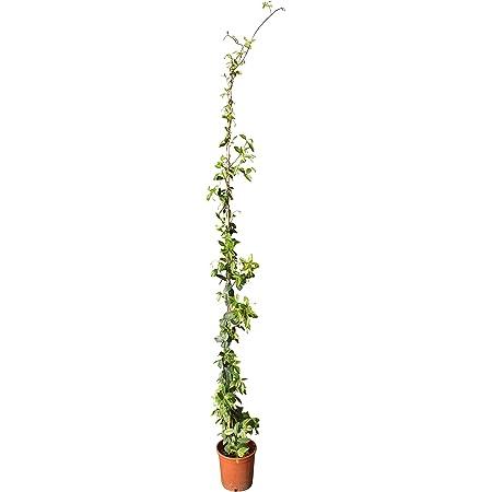 Jazmín toscano (170 cm), color blanco