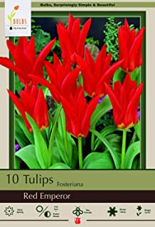 Red Emperor Fosteriana Tulip 10 Bulbs - Heirloom - 12/+ cm Bulbs