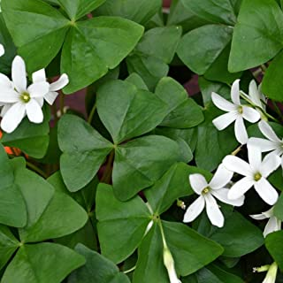 Oxalis Regnelli Bulbs - Green Shamrocks - Robust Bulbs #1 Tubers - Grows Indoors & Out from Easy to Grow TM (20 Bulbs)