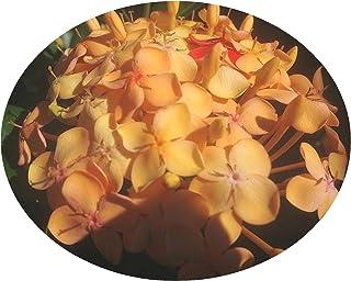 Maui Sunset Yellow Peach Ixora Live Tropical Plant Flowering Shrub Starter Size 4 Inch Pot Emeralds TM