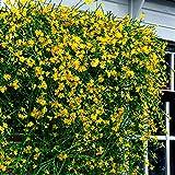 Jasminum nudiflorum | Gelsomino invernale | Pianta rampicante fiorita | Altezza 55-65cm | Vaso Ø 15cm