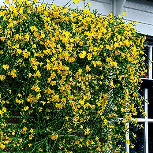 Jasminum nudiflorum   Gelsomino invernale   Pianta rampicante fiorita   Altezza 55-65cm   Vaso Ø 15cm