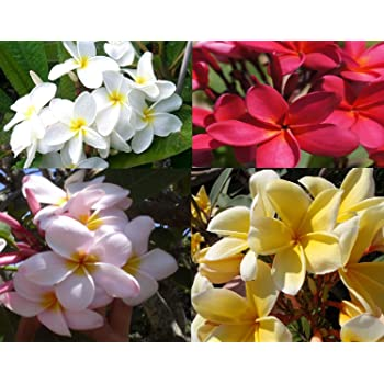 Set of 4 100% Hawaiian Plumeria (Frangipani) Plant Cuttings....From a PEST-FREE certified Hawaiian nursery with the proper U.S. Department of Agriculture stamp.
