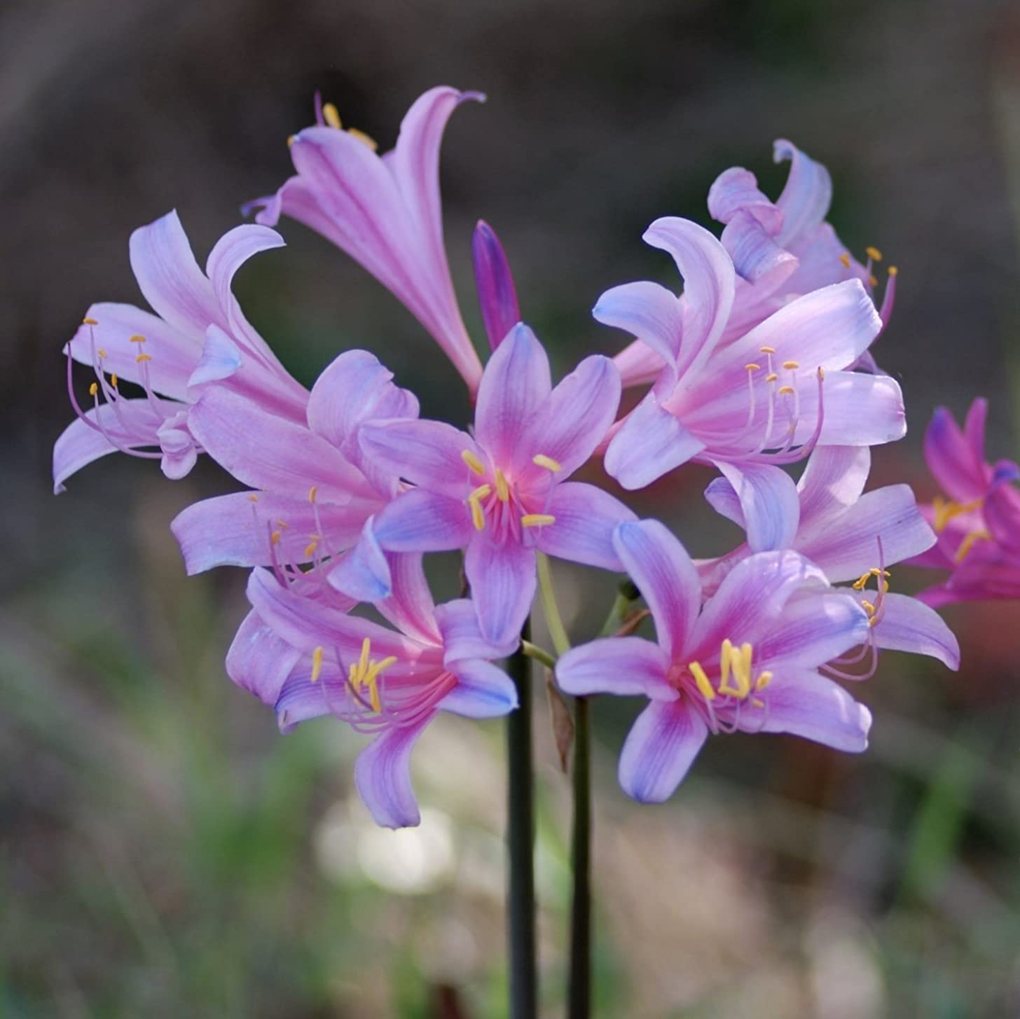 Mytree Lycoris Electric Blue Sprengeri - Surprise Lilies - 2 Large Bulb - 12+ cm Ships