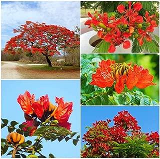 Best royal poinciana bonsai for sale Reviews