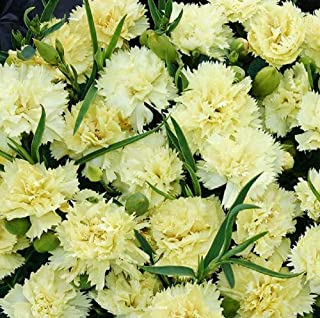 yellow dianthus
