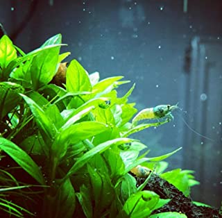 Mainam Staurogyne Repens Carpet Freshwater Bundle Live Aquarium Plant Decorations