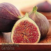 Mercury_Group - US Plantation, Hardy FIG Fruit Tree 'Magnolia' Live Plant aka Madonna, Dalmatia, Brunswick