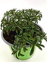 Satureja montana Kr/äuter Pflanzen 1stk. Berg Bohnenkraut