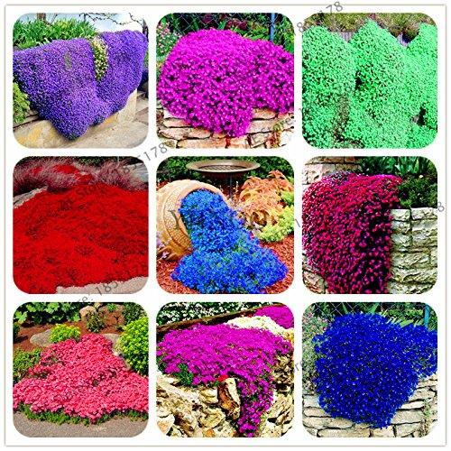Pinkdose Großer Verkauf 205pcs selten ROCK Kresse Bonsai Kletterpflanze Thymian Creeping flores Perennial Bodendecker Blume für Hausgarten: MIX