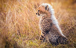 Cheetah Cub Grass/Animal Poster Print (Size:13x19 inch)