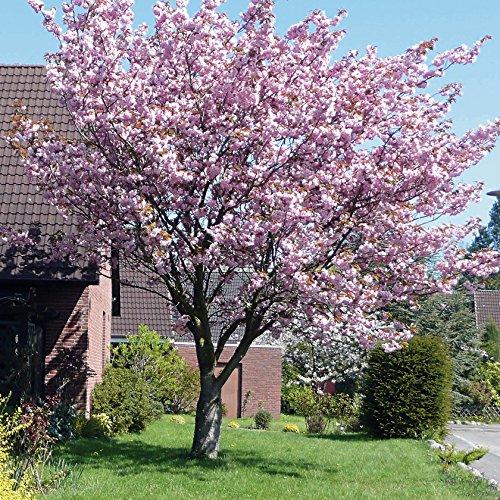 10 Semillas De Cerezo Japonés Sakura (Prunus Serrulata) / Cultivable como árbol o bonsái