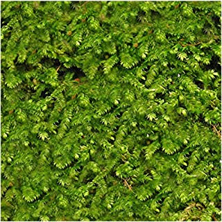 Luffy Wild Christmas Moss in Loose Form Lush, Green Moss for Aquarium Decor - Create a Moss Wall or Moss Carpet - Soft and Comforting for Fish - Shrimp's & Fry's Food