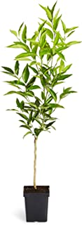 Brighter Blooms Nules Clementine Dwarf Fruit Tree - Large Trees - Grow Delicious Clementine Oranges Anywhere in The USA (Live Potted Plant) - 1-2 ft.