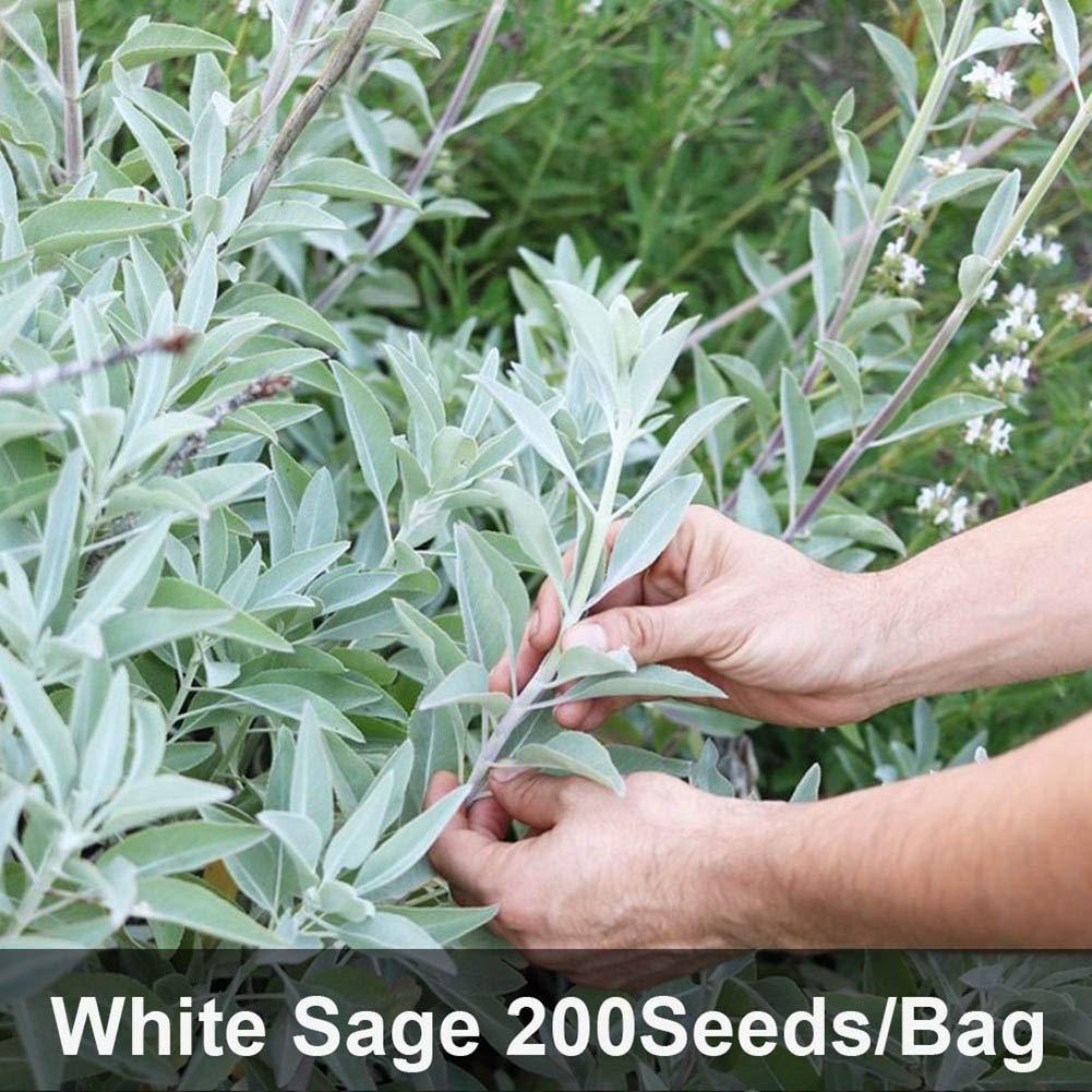 200Pcs White Sage Herb Seeds Balcony Bonsai Home Office Garden Decor