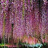 10Pcs / Packung Wisteria Samen White Dah lia Samen Schöne Staude Blumen-Samen Dah lia für DIY Hausgarten(Zufällig) Jasnyfall