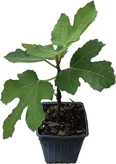 Best higo fig tree Reviews