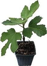 Best turkey fig tree Reviews