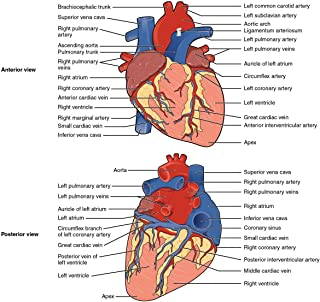Gifts Delight Laminated 25x24 Poster: Heart Anatomy and Physiology