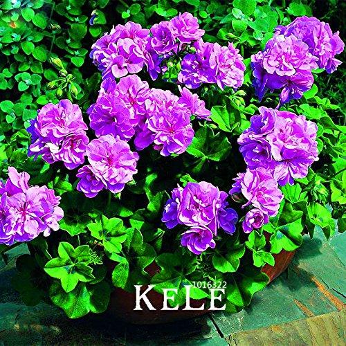 Perte Promotion 30pcs / Paquet pourpre élégant univalve Géranium Graines vivaces Graines de fleurs Pelargonium peltatum pour pièces intérieures, #
