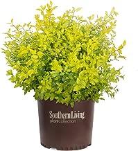 Southern Living Plant Collection 3953Q 2.5 Qt - 'Sunshine' Ligustrum Live Shrub, Quart, Evergreen Bright Yellow Foliage