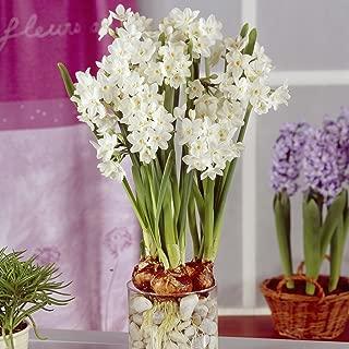 Best amaryllis bulbs online Reviews