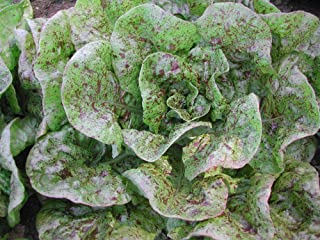 'Organic ''Speckles'' Butterhead Lettuce Bibb Like 50+ Seeds Amish Heirloom Non-GMO'