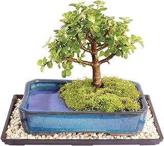 Brussel's Live Dwarf Jade Indoor Bonsai Tree in Water Pot - 5 Years Old; 6